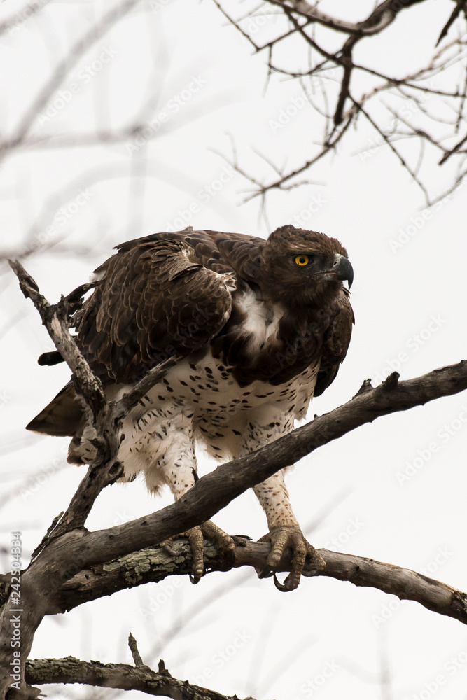 Aigle martial, Polemaetus bellicosus, Martial Eagle