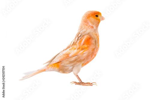 Photo  canary isolated