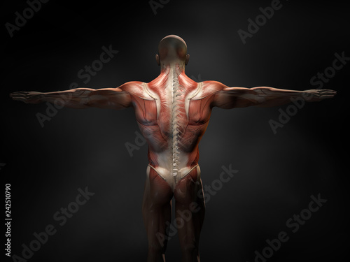 Fotografie, Tablou  Back muscles of a man with cross section of the spine, medically 3D illustration