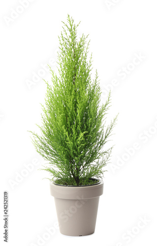 Fotomural Lemon cypress tree plant on white background