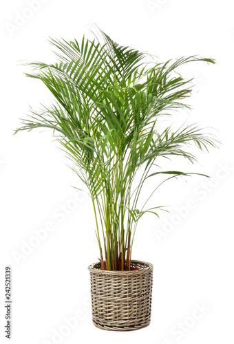 Areca palm in pot on white background Fototapeta