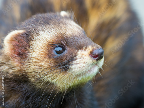 Photo Polecat Head Close Up