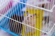 A Hamster Sits In A Cage