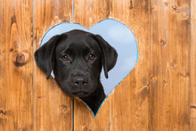 Labrador Retriever Puppy Looks Out Of A Hole In The Fence