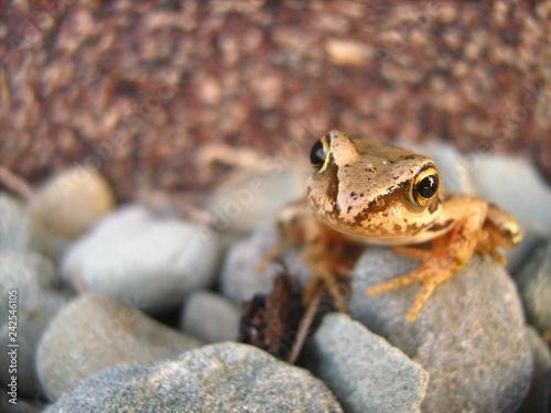Fotografie, Obraz  Młoda żaba