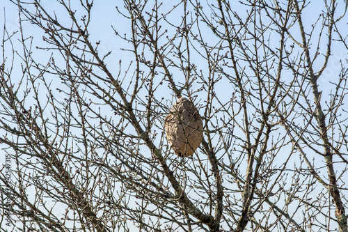 Foto  VESPA VELUTINA NEST , asian wasp nest on a tree