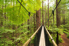 Treewalk Through Forest Of Tree Ferns And Giant Redwoods In Whakarewarewa Forest Near Rotorua, New Zealand