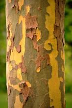 Closeup Of The Colorful Textured Bark Of The Eucalyptus Globulus Tree