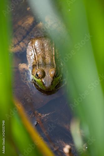 Frog, Inniswood Metro Gardens, Westerville, Ohio