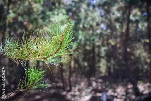 Fotografija  Close up of illuminated pine needles; blurred evergreen forest in the background