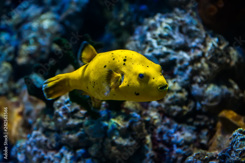 Poster Sous-marin Yellow Blackspotted (or Dog Faced) Puffer fish (Arothron nigropunctatus) swimming in Aquarium tank