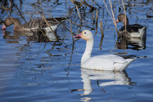 Migrating Snow Goose (Chen Caerulescens) Swimming On A Pond In The Sacramento National Wildlife Refuge, California