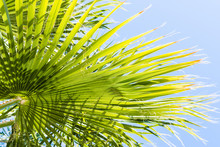 Fan Palm Tree (Washingtonia Fi...