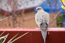 Mourning Dove Sitting On A Bal...
