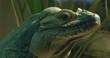 Mona iguana lizard facing right- close up profile of head.