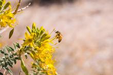 Honey Bee Pollinating Peritoma...