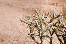 Diamond Cholla / Branched Pencil Cholla (Cylindropuntia Ramosissima), Joshua Tree National Park, California