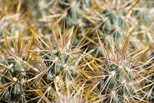 Close Up Of Silver Cholla (Cylindropuntia Echinocarpa), Joshua Tree National Park, California
