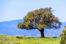 Live Oak Tree On A Hill, South San Francisco Bay Area, San Jose, California