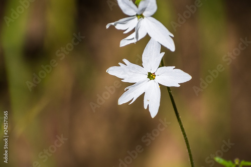 Woodland star (Lithophragma affine), San Francisco bay area, California Canvas Print