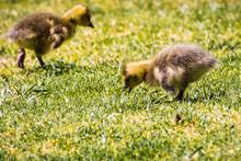 A Pair Of Canada Goose (Branta Canadensis) New Born Chicks Eating Grass On A Green Meadow, San Francisco Bay Area, California
