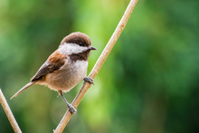Close Up Of Chestnut Backed Chickadee (Poecile Rufescens); Blurred Green Background, San Francisco Bay Area, California