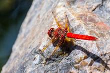 Close Up Of Flame Skimmer (Libellula Saturata), San Francisco, California