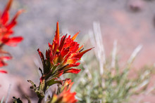 Close Up Of Indian Paintbrush (Castilleja) Wildflower Blooming In Siskiyou County, California