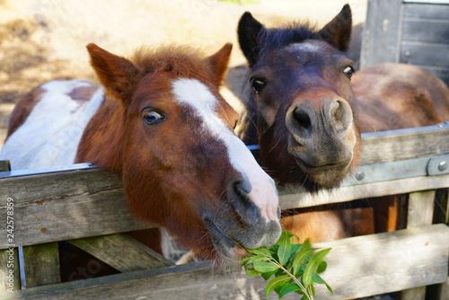 Foto op Canvas Paarden A horse peeking its head above a wooden fence