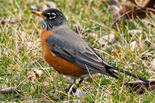 American Robin Standing On Grass