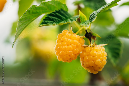 Yellow Golden Raspberries. Growing Organic Berries Closeup. Ripe