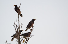 Group Of Mynah Birds Perched On Branches Isolated On Sky Background