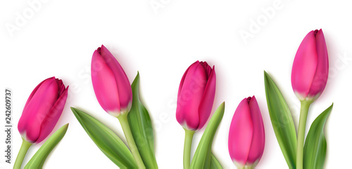 Fototapeta Decorative pink tulips isolated on white background. Spring design template with flowers. Vector illustration.  obraz
