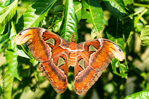 Fotografía  Atlas Moth, the largest species of its kinds with open wings position is perching on a green leaf of a tree in the garden with background blurred