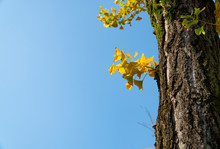 Ginkgo Tree With Green Moss On Its Trunk And The Leaves Change Their Color From Green To Yellow Then, Gold On Sunny Day In Autumn With Clear Blue Sky Background Blurred And Copy Space.