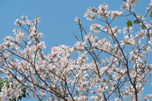 White Flowers Tree, Bauhinia, In Full Bloom In The Mountainous Area In Nan Province, Northern Thailand, Asia,