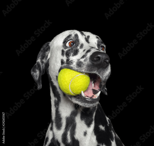 Poster Chien Cute dalmatian dog holding a ball in the mouth. Isolated on black