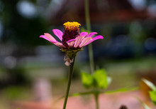 White Crab Spider Crawls At A Green Stem Under The Shade Of A Pink Zinnia Flower In The Garden With Daylight Background Blurred And Bokeh.