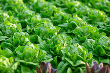 Fresh Butterhead Lettuce Leaves, Salads Vegetable Hydroponics Farm