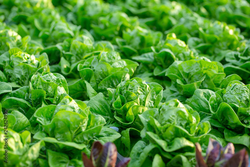 Fotomural Fresh Butterhead lettuce leaves, Salads vegetable hydroponics farm
