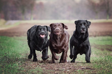 3 Crazy Labradors