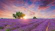 Lavender field - Valensole, France