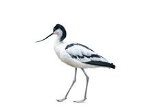 Avocet Bird Isolated On White