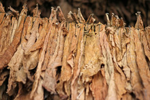 Drying Tobacco Leaves Hanging ...