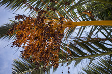 Dates Hanging From Branches Of...