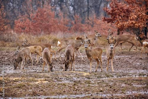 Obraz na płótnie Roe deer and bucks