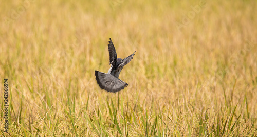 Pigeons fly over rice fields.