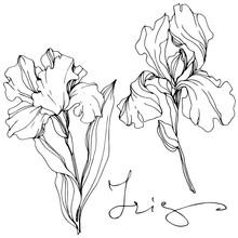 Vector Iris Floral Botanical Flower. Black And White Engraved Ink Art. Isolated Iris Illustration Element.