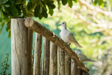 Ring Necked Dove Sitting On A ...