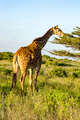 Fotografie, Obraz  Isolated giraffe eating on a spruce in the savannah of Nairobi park in Kenya in
